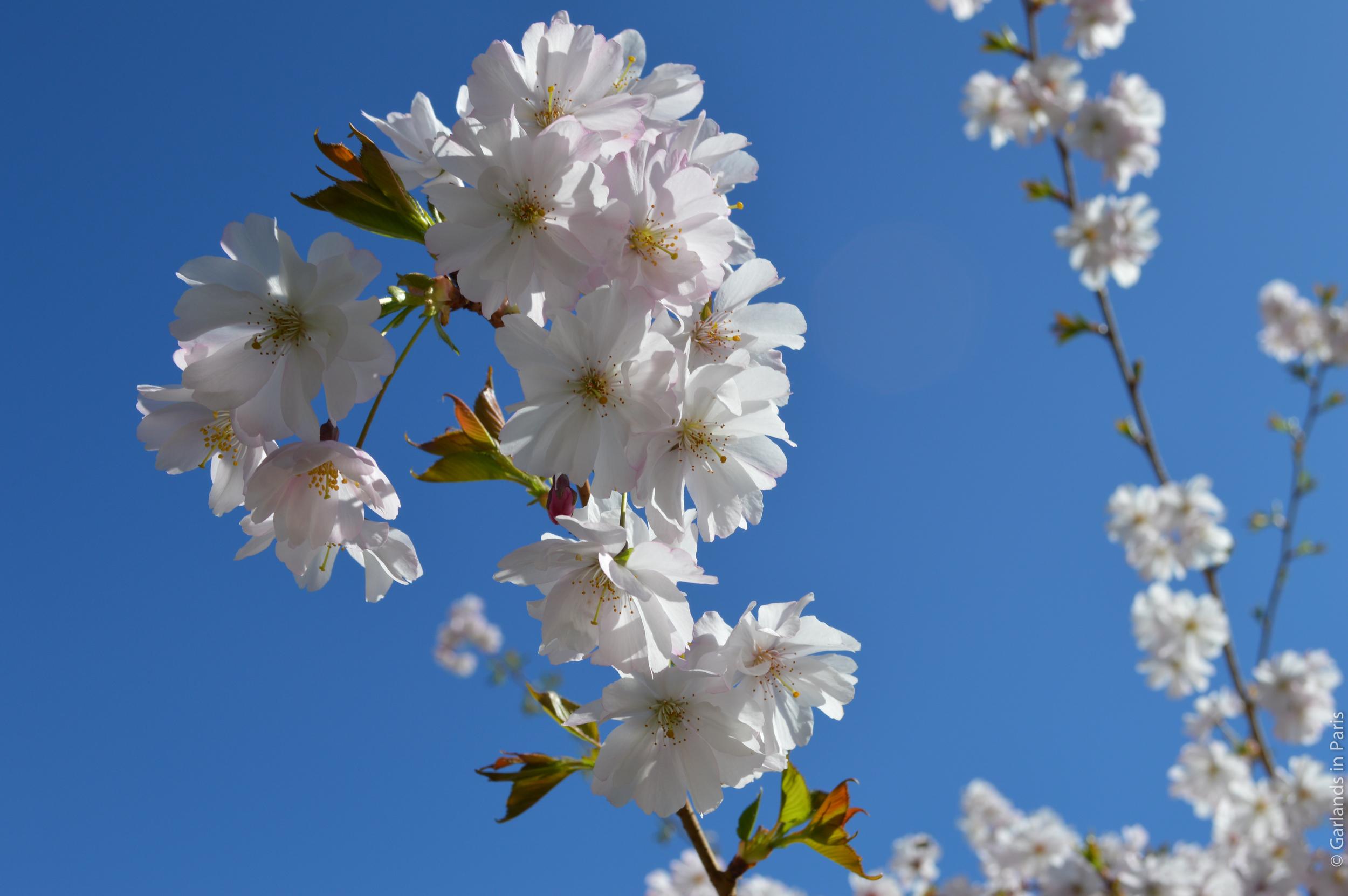 Cherry Blossoms Paris