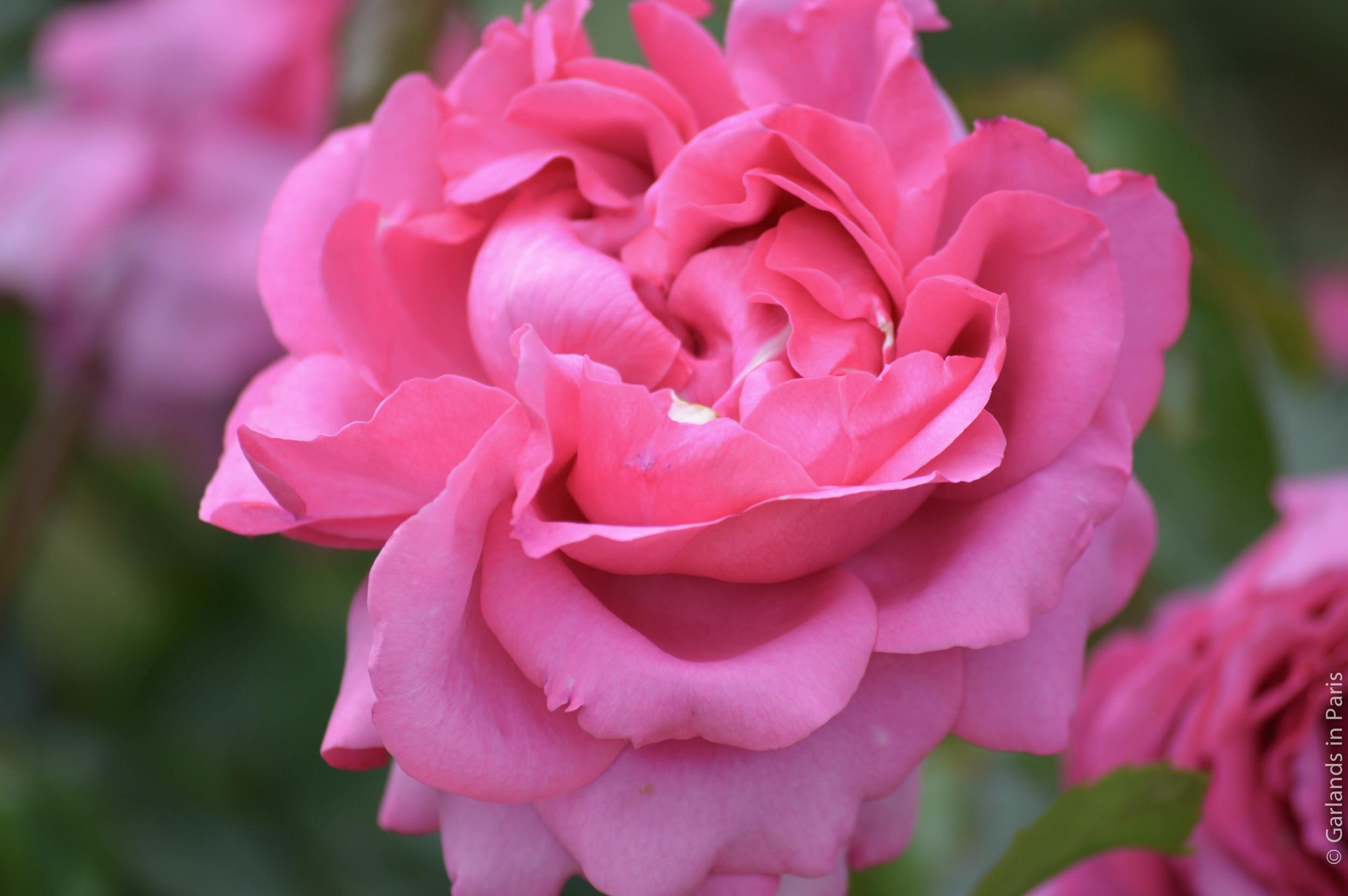 Roses, Malmaison, France