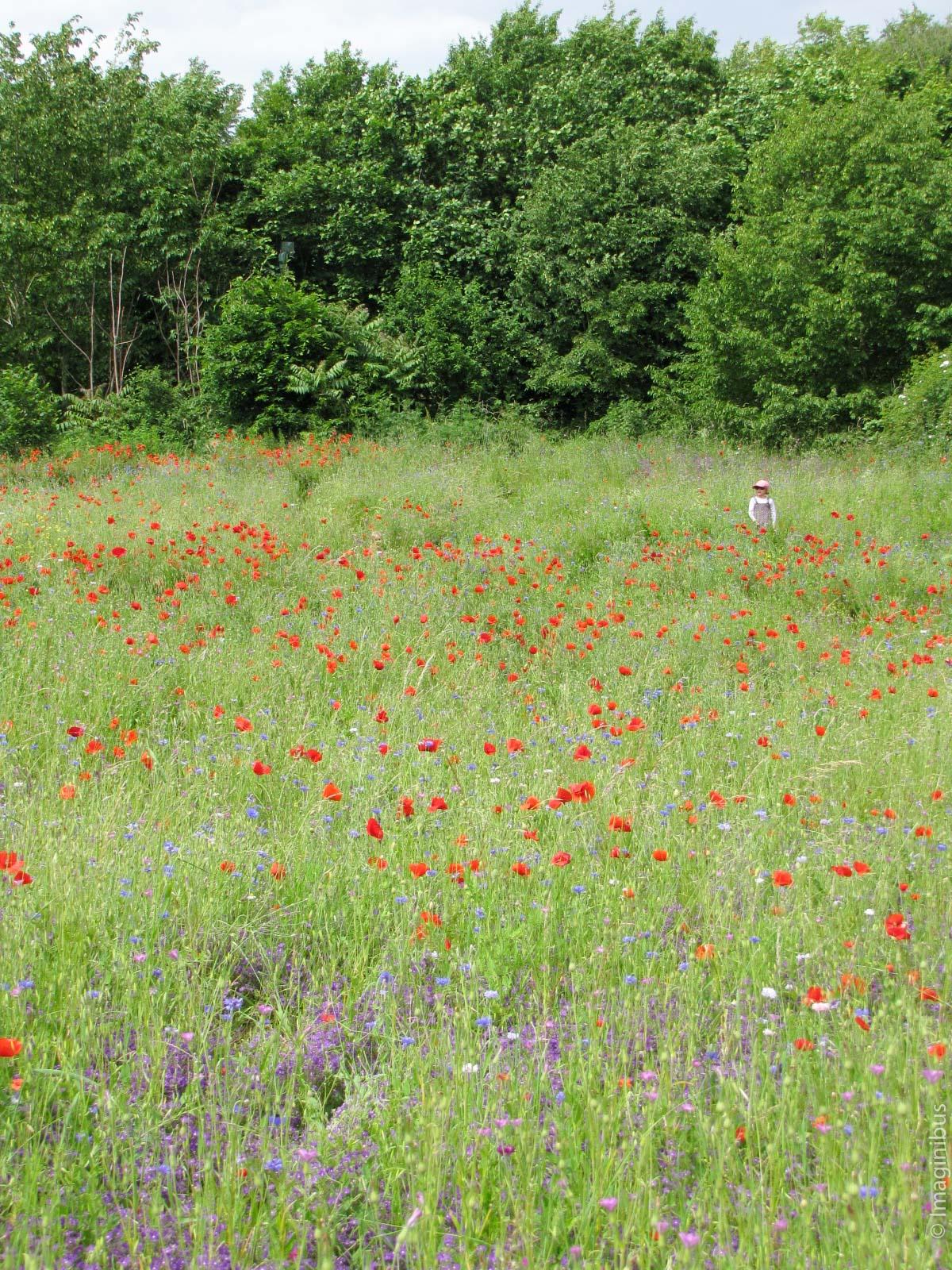 Giverny France Monet Garden Poppy