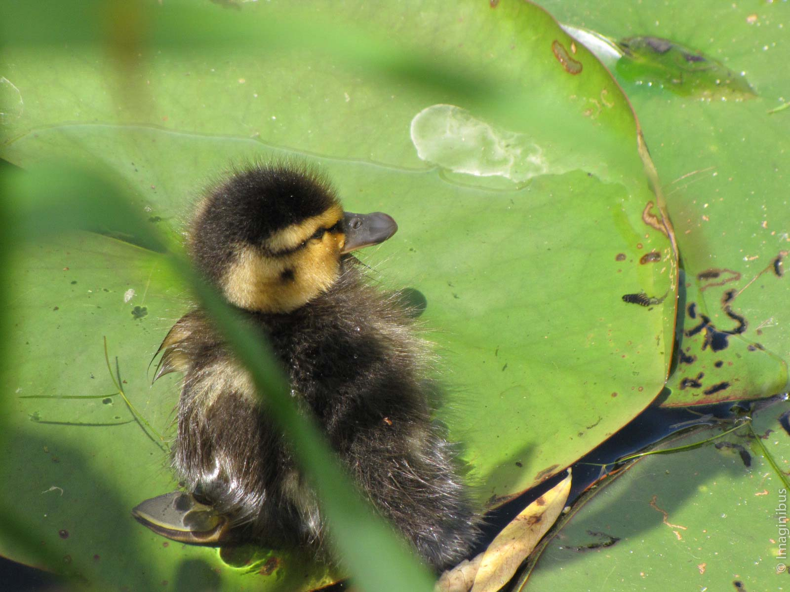 Giverny France Monet Garden Duckling