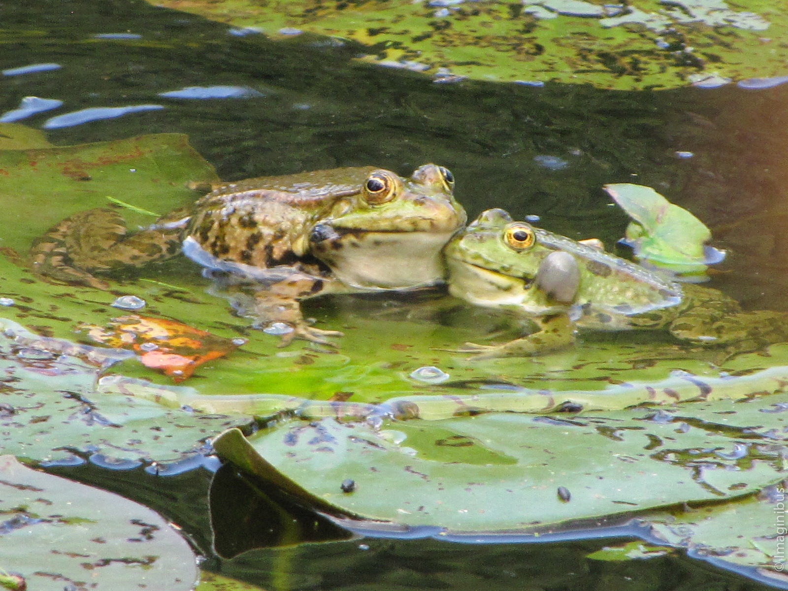 Giverny France Monet Garden Frogs
