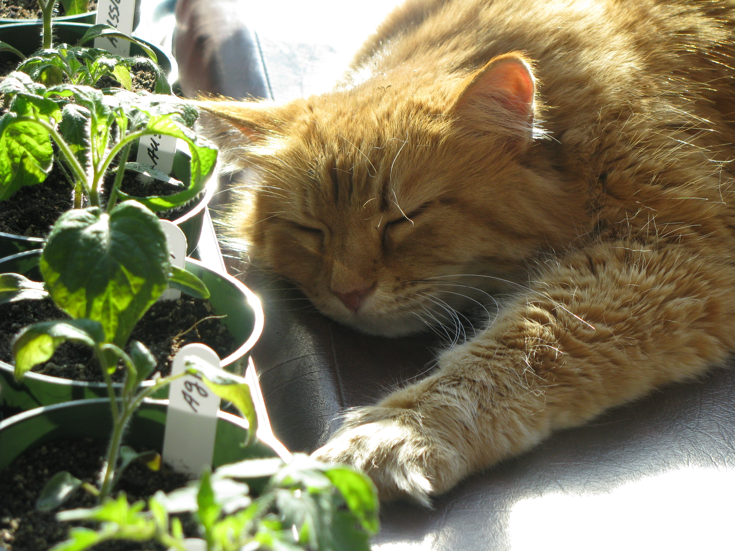 Dreaming about my Tomato.JPG