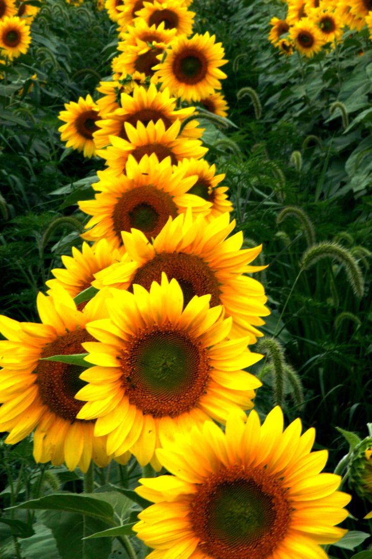 http://mylusciouslife.com/become-your-own-florist-create-luscious-flower-arrangements-at-home/   Autumn Flower: Sunflowers