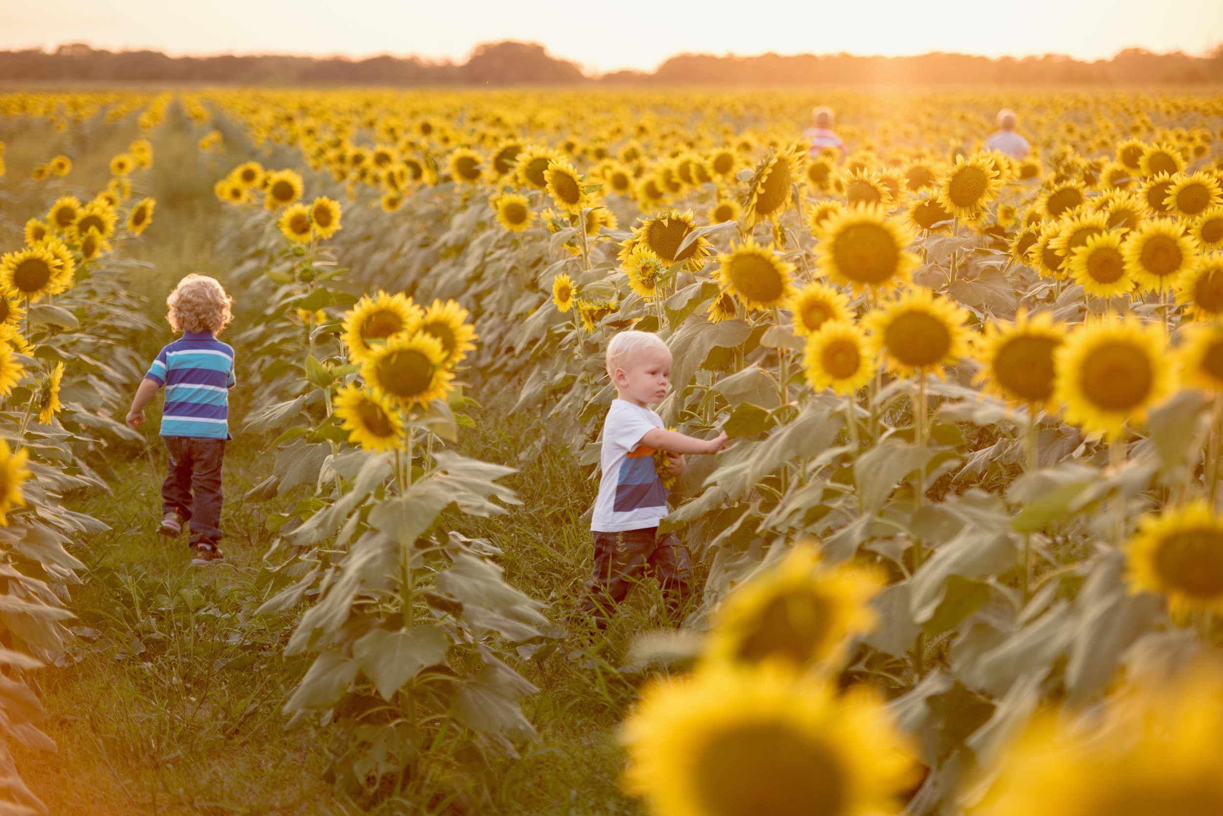 sunflower mini photo session el campo texas
