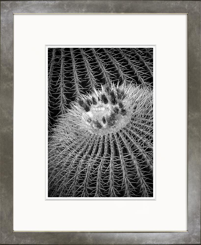 Golden Barrel Cactus (Small Classic)
