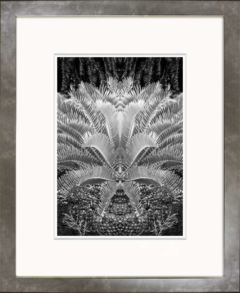 Cycad (Small Classic)