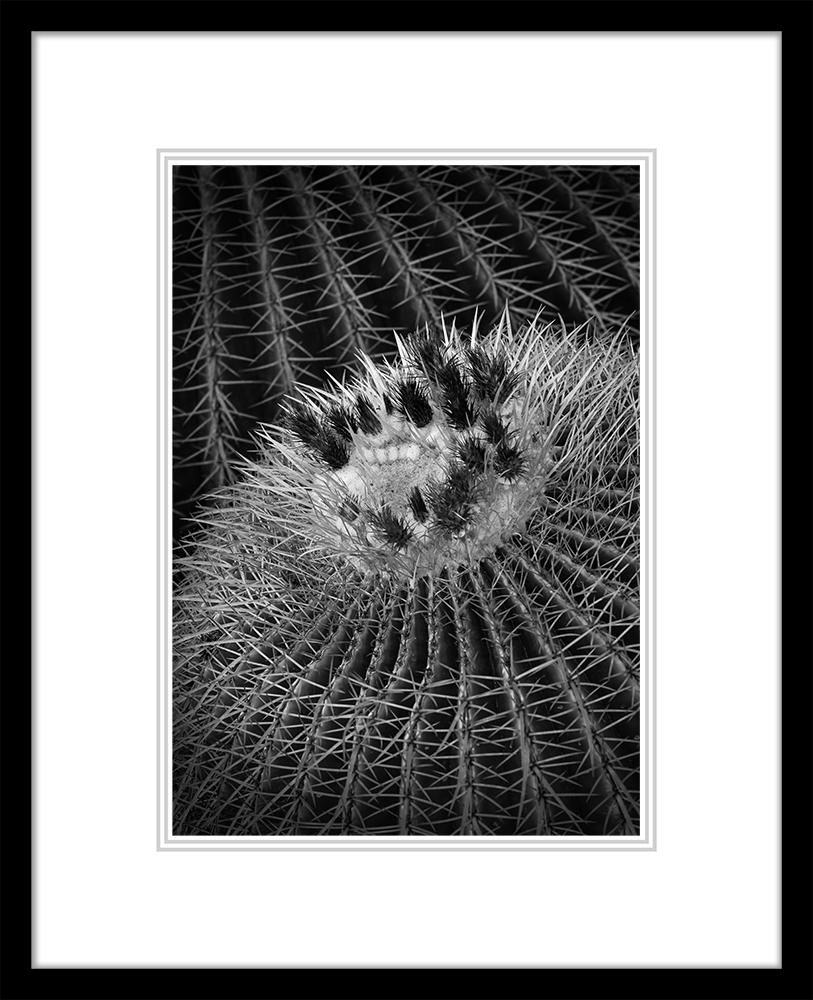 Golden Barrel Cactus (Large Classic)