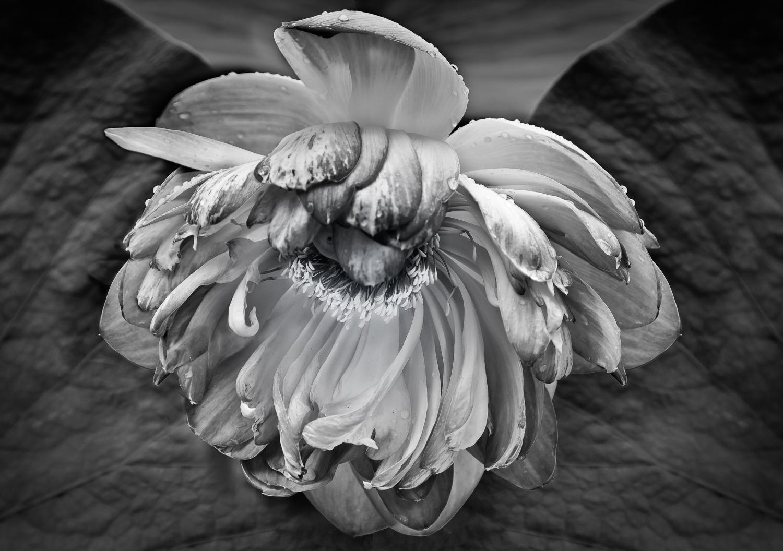 Faded Lotus