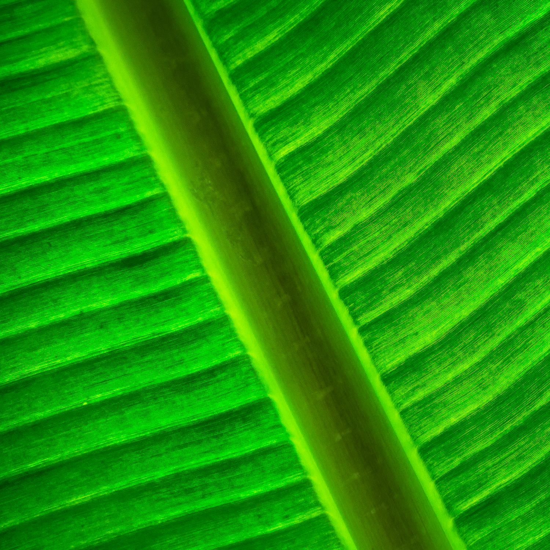 backlit-leaf-peru.jpg