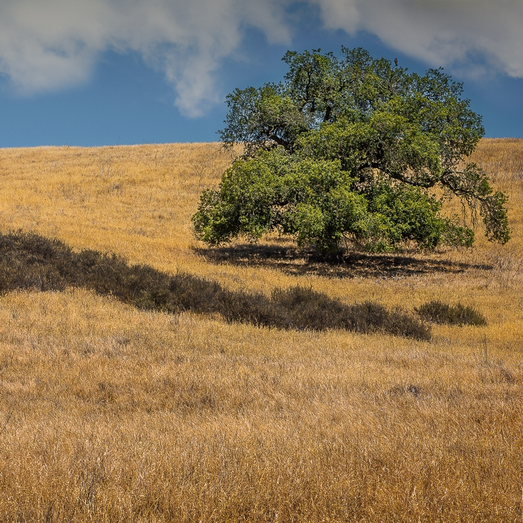 Lone Oak with Gray Grass