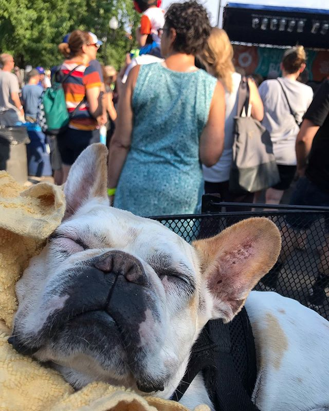 Dawg daze of summer are here... one half of the dynamic duo of #JazzFuzz mascots, #LeTuff caught napping during @beachslang at @squarerootschi . . . #dogdays #dogdaysofsummer #rocknroll #summer #chicago #podcast #podcaststudio #beatmakers #frenchie #frenchbulldog #frenchbulldogsofinstagram