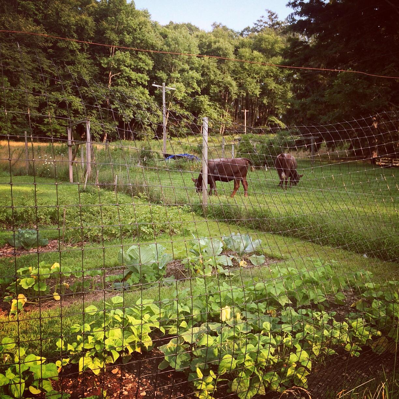Maple & Daisy were moved to a temporary pen near the big garden.