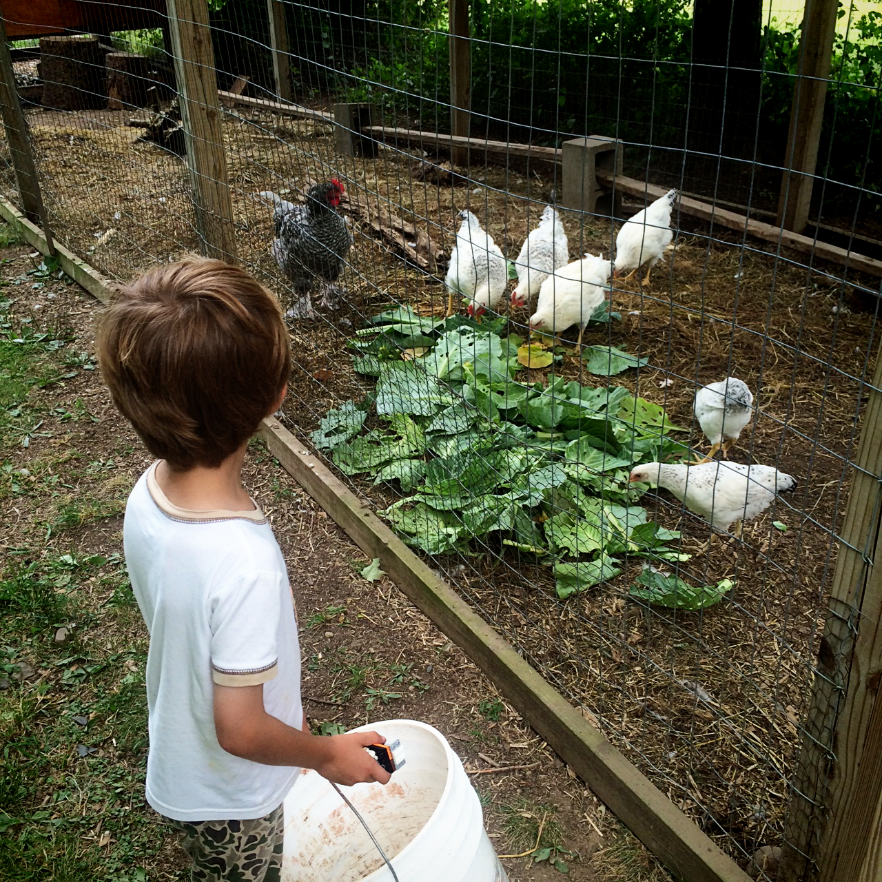 ....and gave them to the chickens.