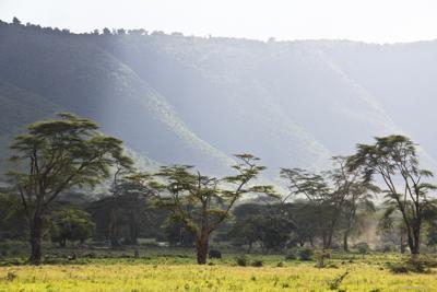 Yellow Fever (Acacia) Trees, Tanzania