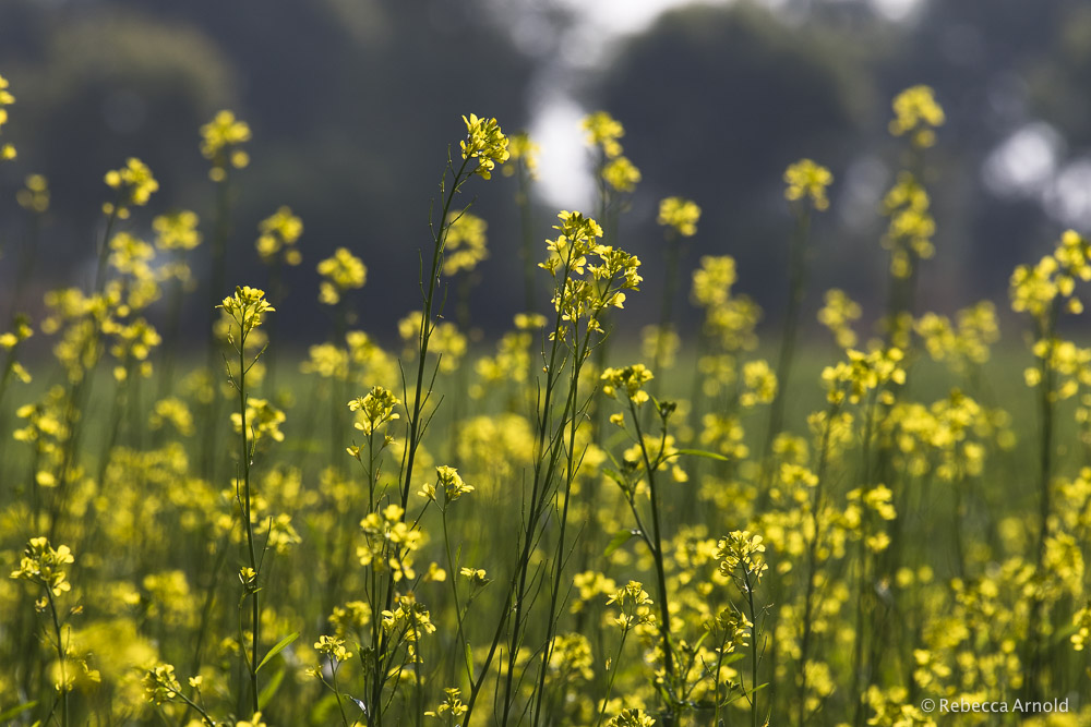 Rebecca went on to tour India for 2 more weeks. Photographing mustard flowers in Rajasthan.
