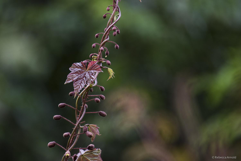 Claret Vine, India