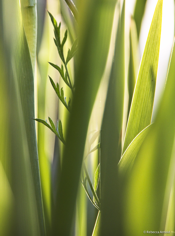 Iris Greens, Italy