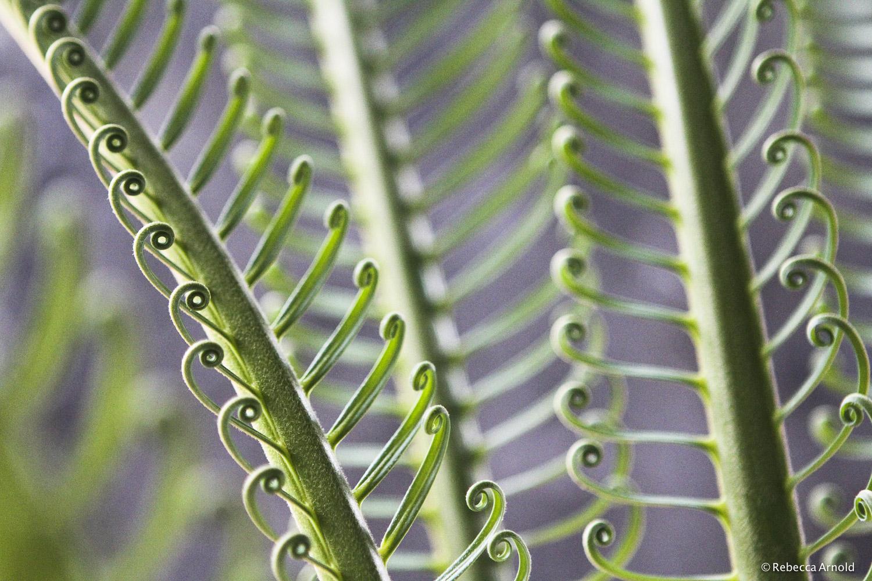 Fern Spines, Kenya