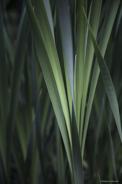 Cattail Reeds, Michigan, USA
