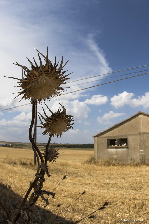 Farm Thistle, Italy