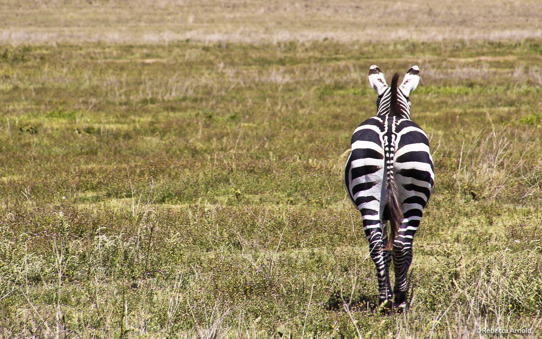 "Zebra Boot, Tanzania 2011   16"" x 24"" | 24"" x 36"" | Custom Sizes  Archival Pigment Prints  Edition: 150"