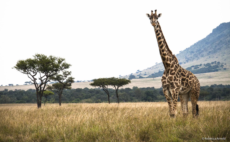 "Giraffe, Maasai Mara, Kenya 2007   16"" x 24"" | 24"" x 36"" | Custom Sizes  Archival Pigment Prints  Edition: 150"