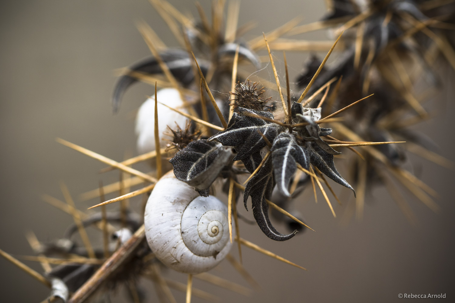 Snails & Thorns, Italy