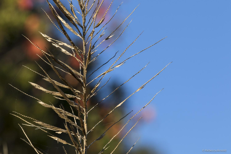 Colored Spikes, S. Carolina, USA