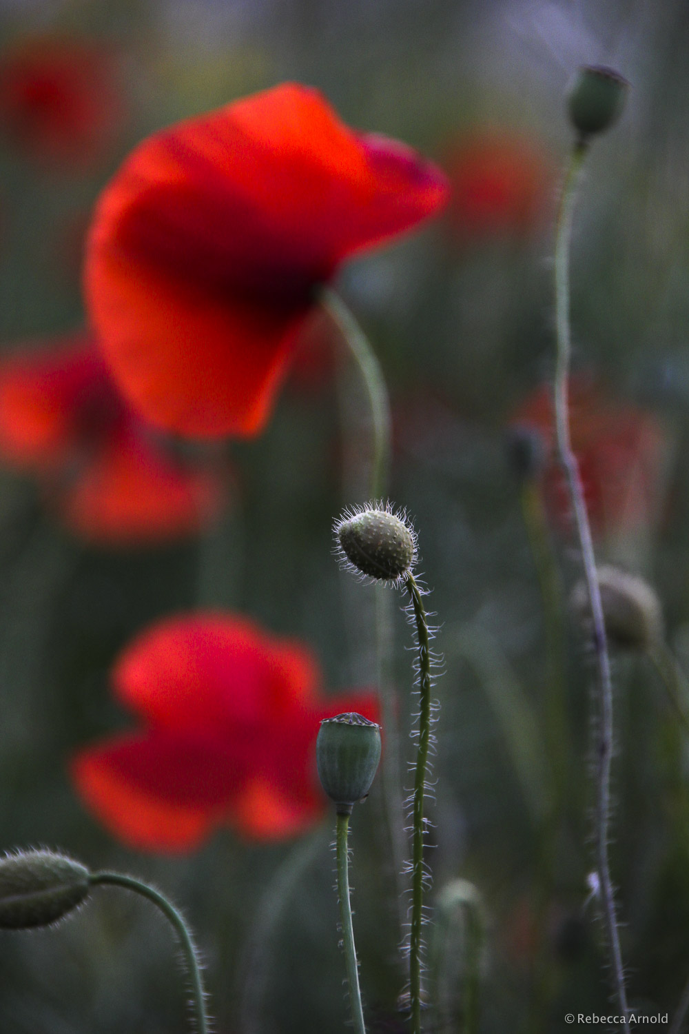 "Poppies at Dusk, Italy 2012  16"" x 24"" 