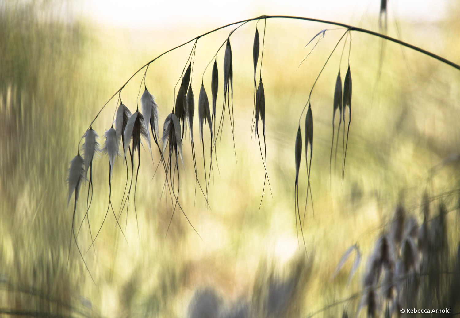 10.Feathered Oats, Italy 2015