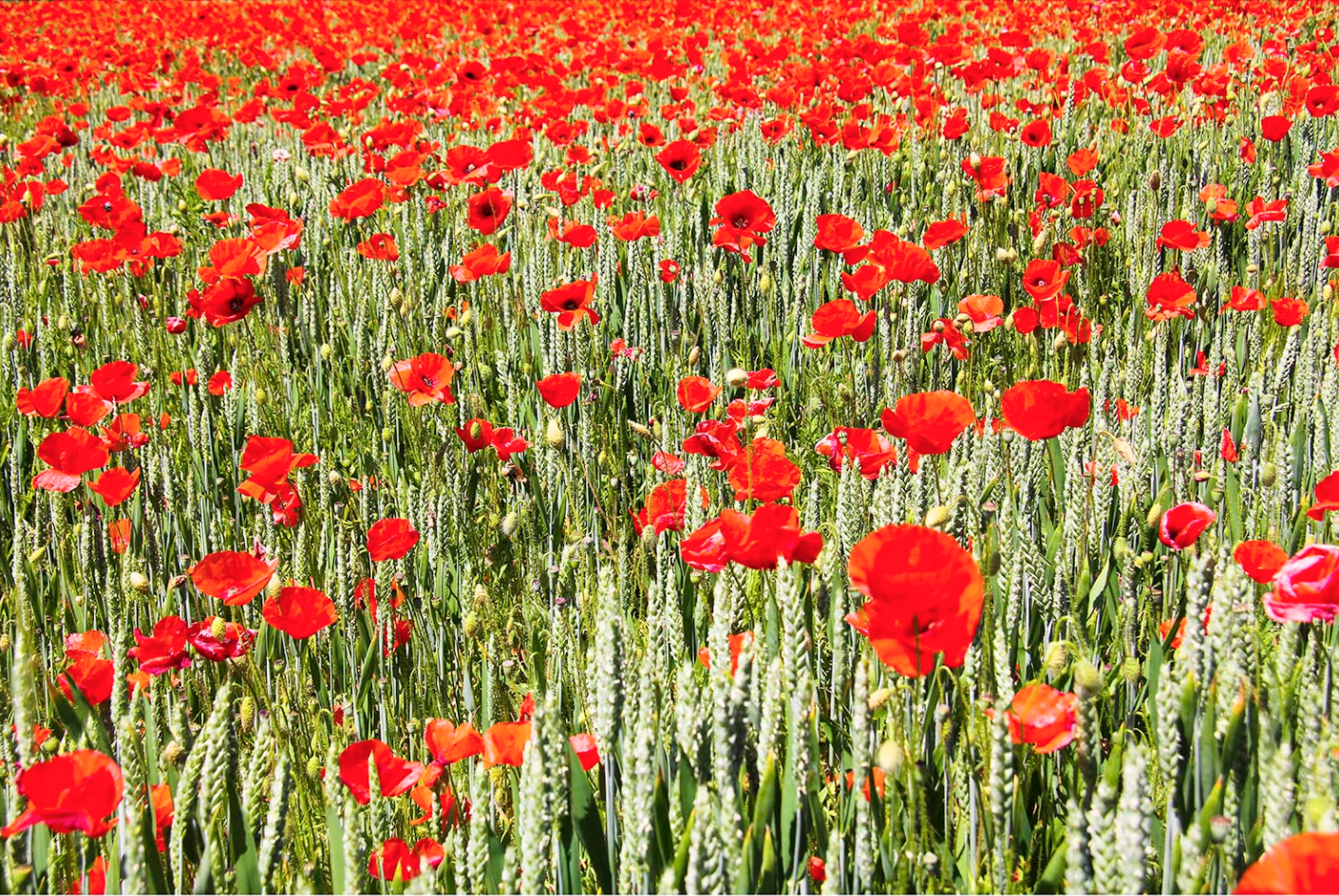43. Perfect Poppies, Italy 2012