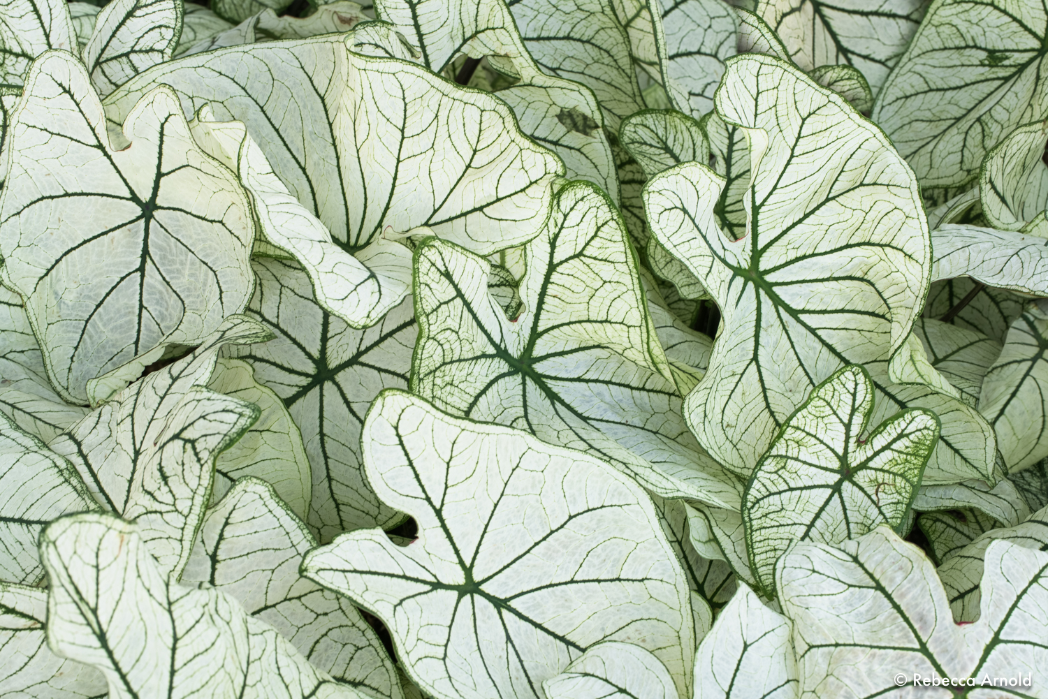 "Clamoring Caladiums, NY, USA 2018  16"" x 24"" 