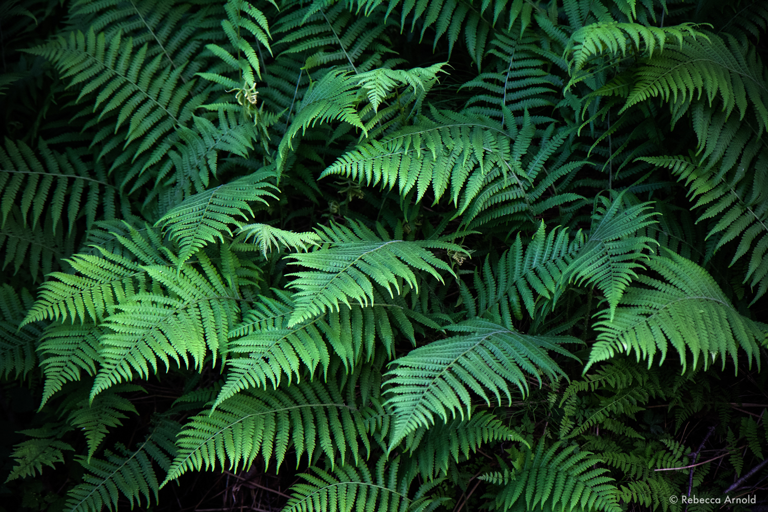 "Flock of Ferns, Michigan, USA 2014  16"" x 24"" 