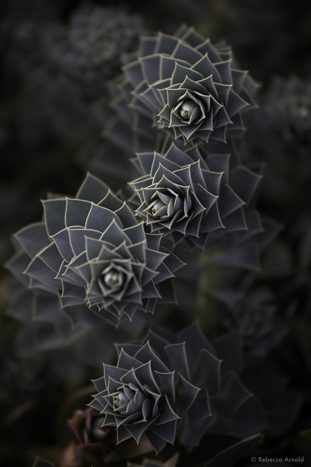 """Succulent Spirals, New Mexico, USA 2015  16"""" x 24"""" 