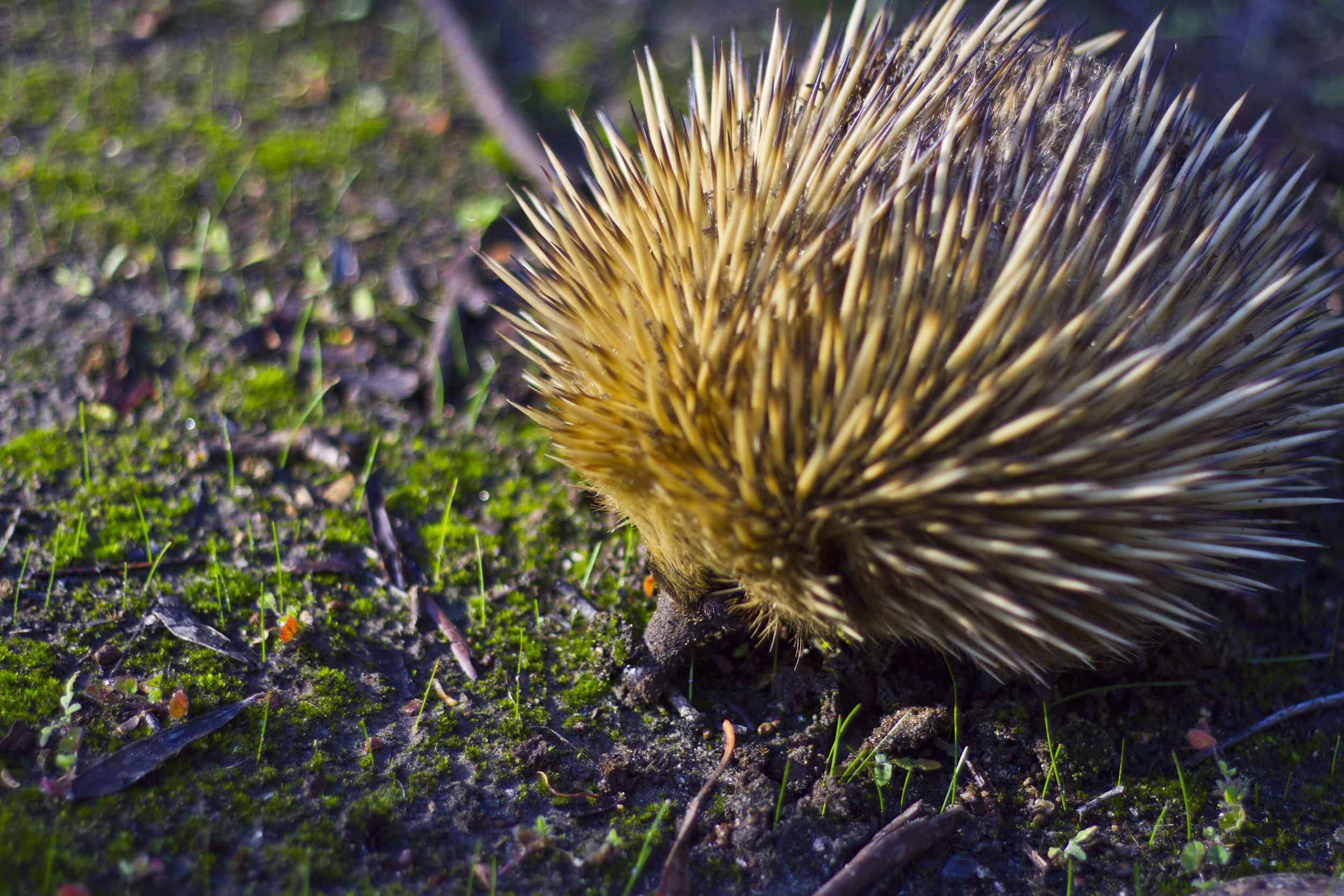 Short Beaked echidna searching for food.
