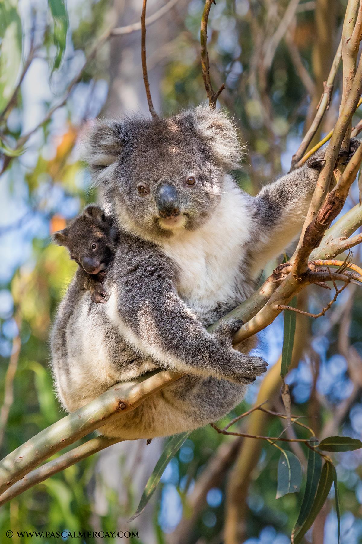 Koala_Joey.jpg