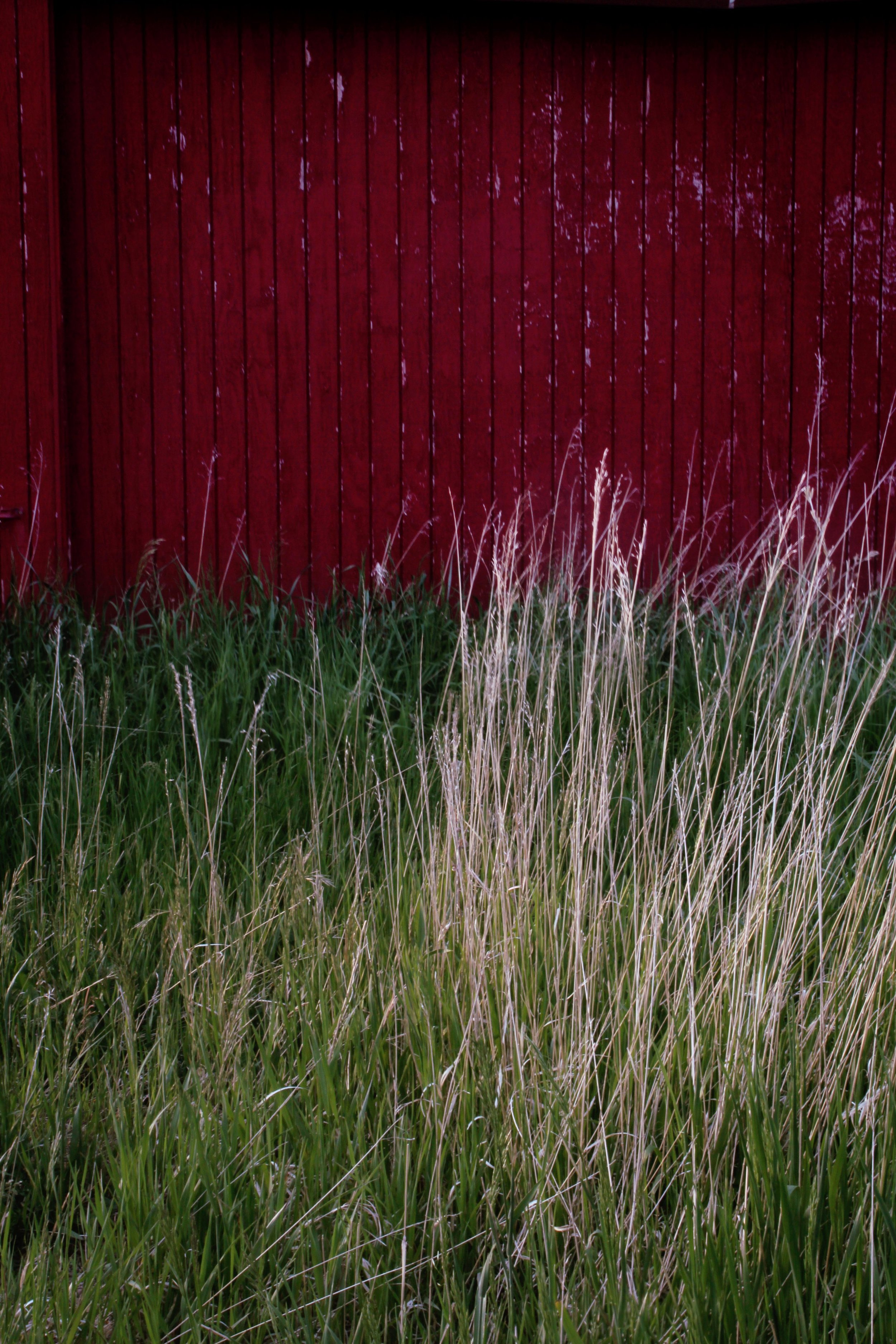 The dead winter grass is dispersed throughout the new spring grass in front of my barn.