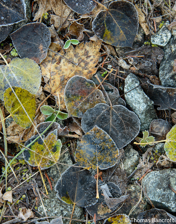 Thomas Bancroft Twisp River Trail Fall Aspen Leaves .jpg