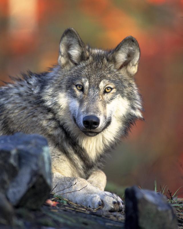 grey-wolf-wildlife-banff-national-park-alberta-canada_800.jpg