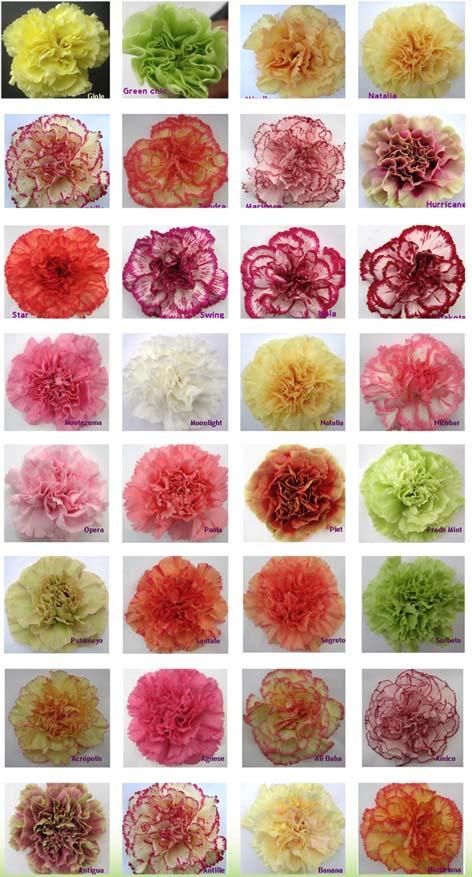Carnation Varieties