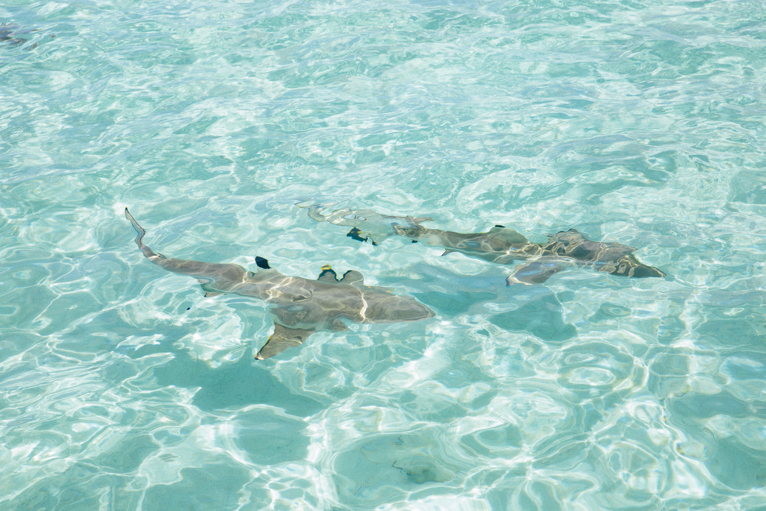 Snorkeling with sharks - an unforgettable experience