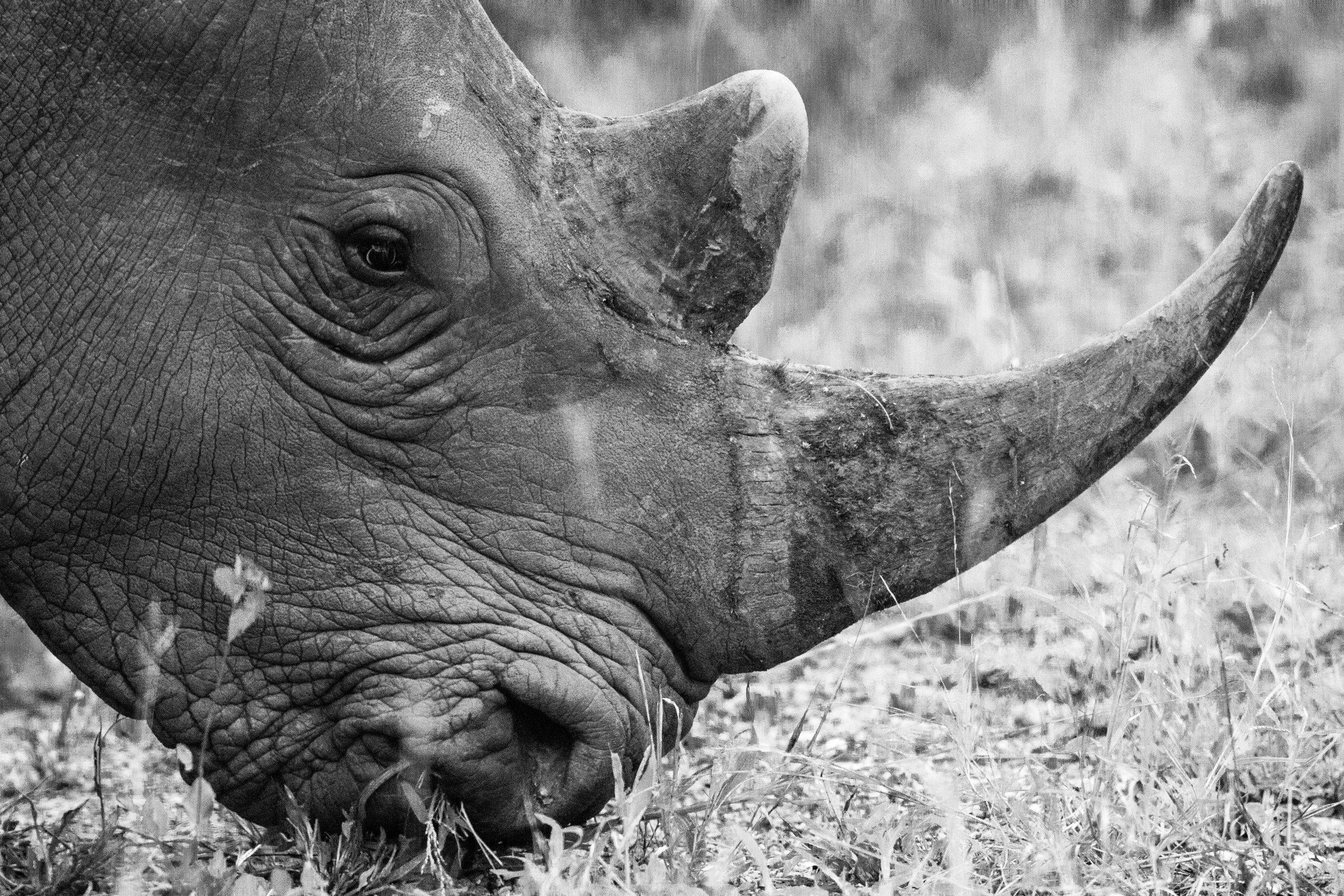 rhino face.jpg