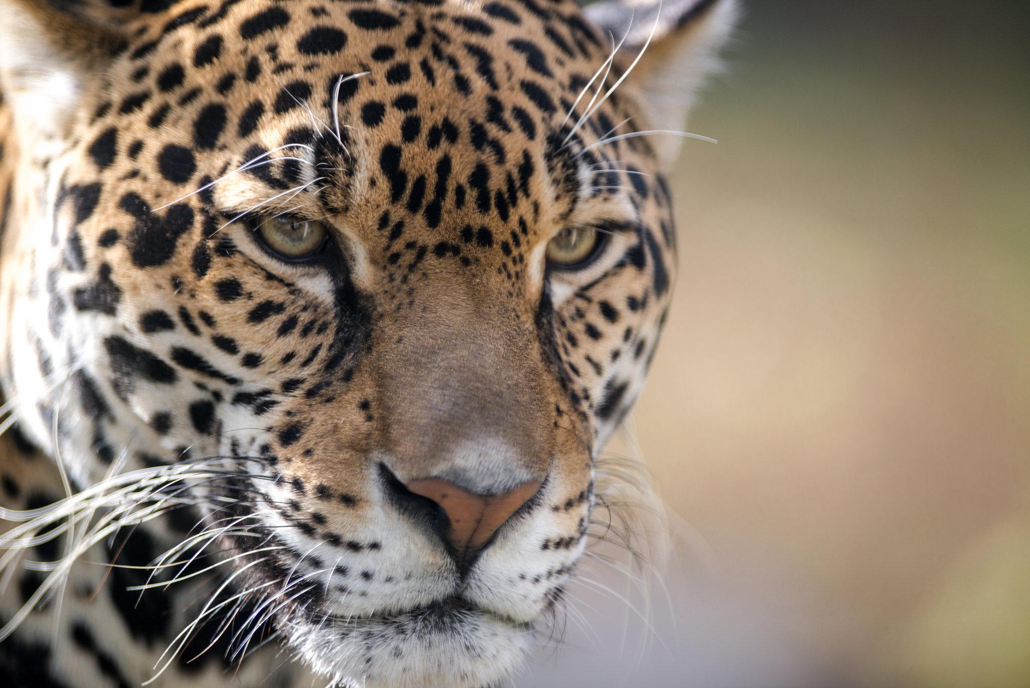 jaguar-closeup-portrait-kilby-2015-1.jpg