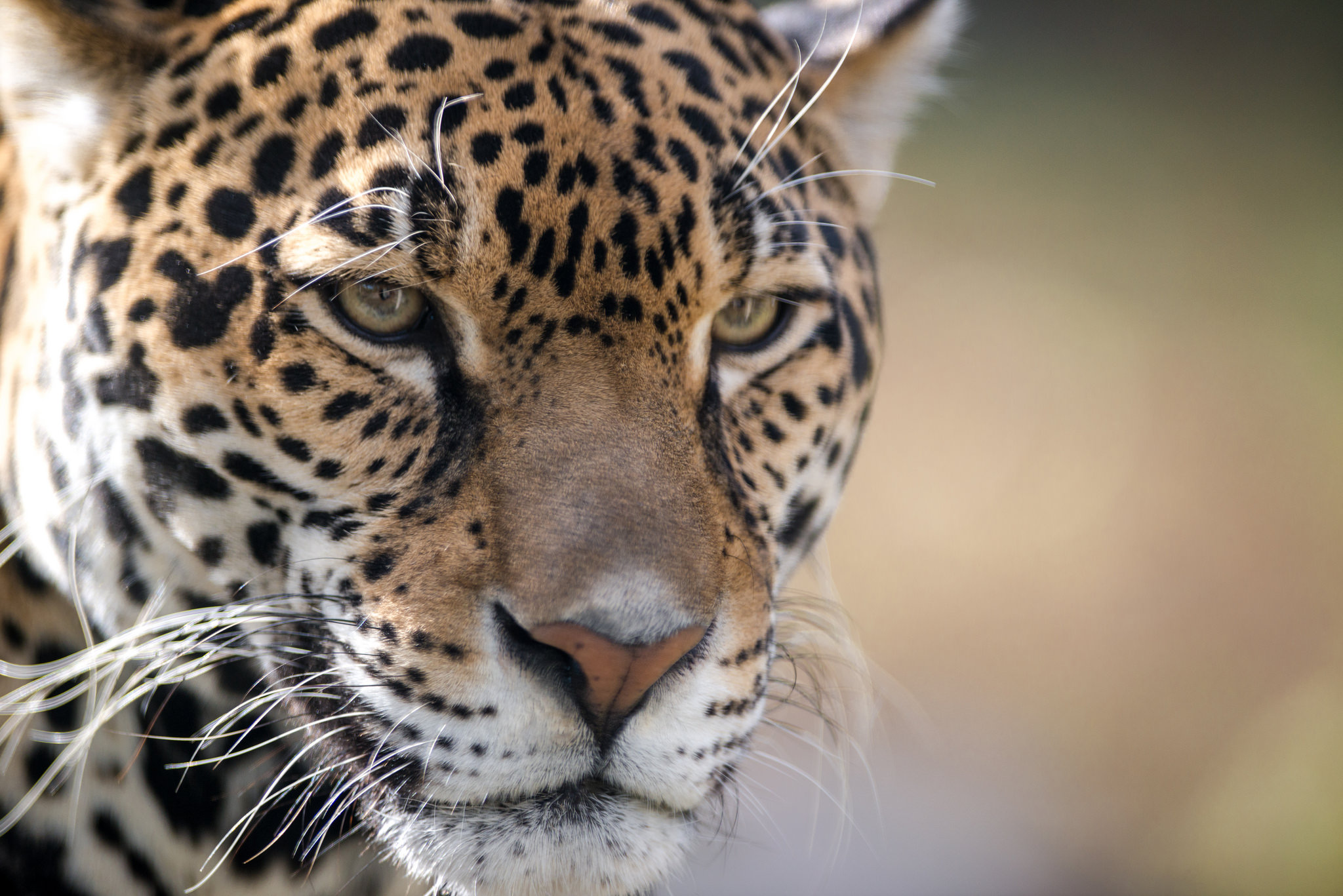 jaguar-closeup-portrait-kilby-2015-1.jpg