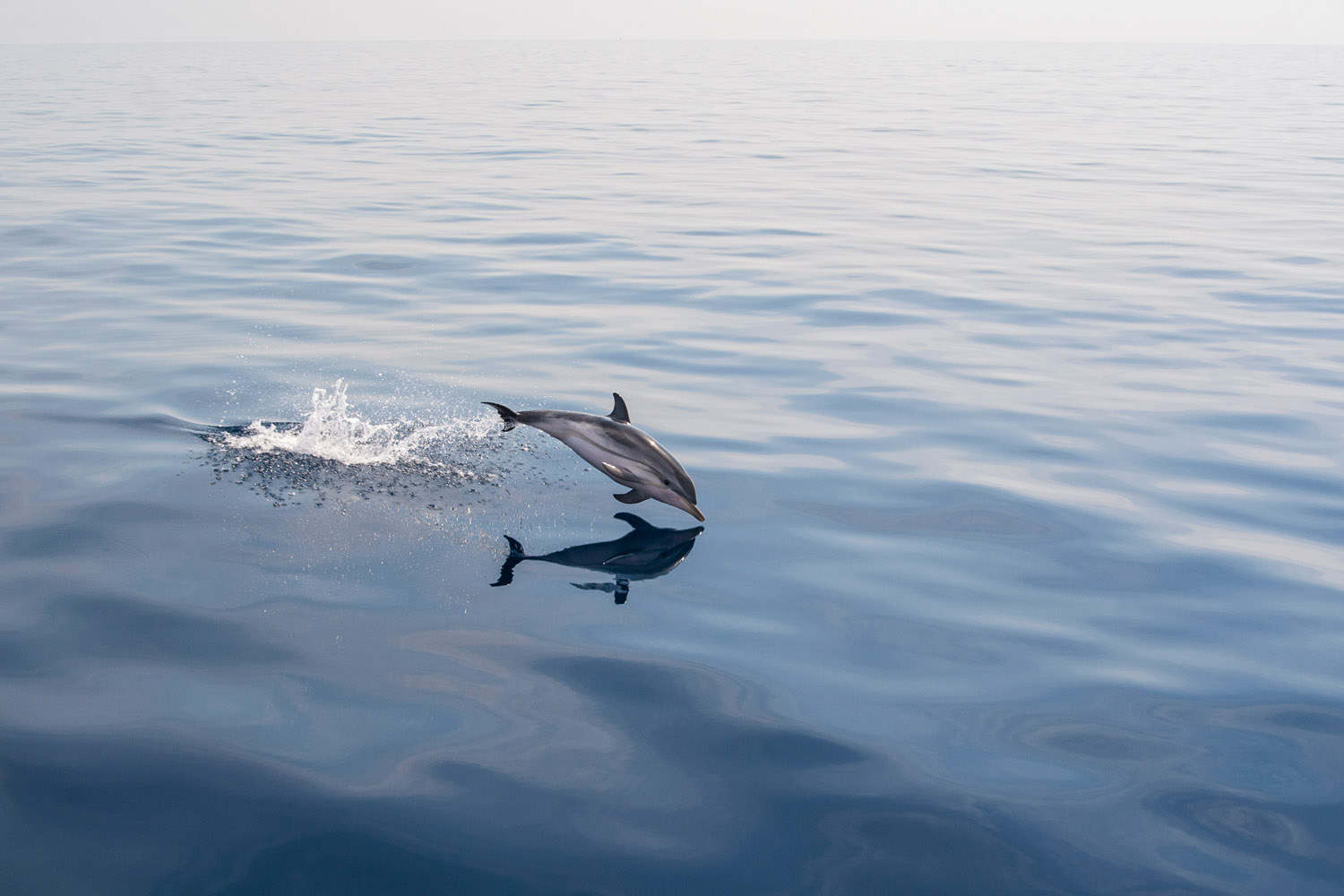 Dolphin and his reflection in calm water.jpg