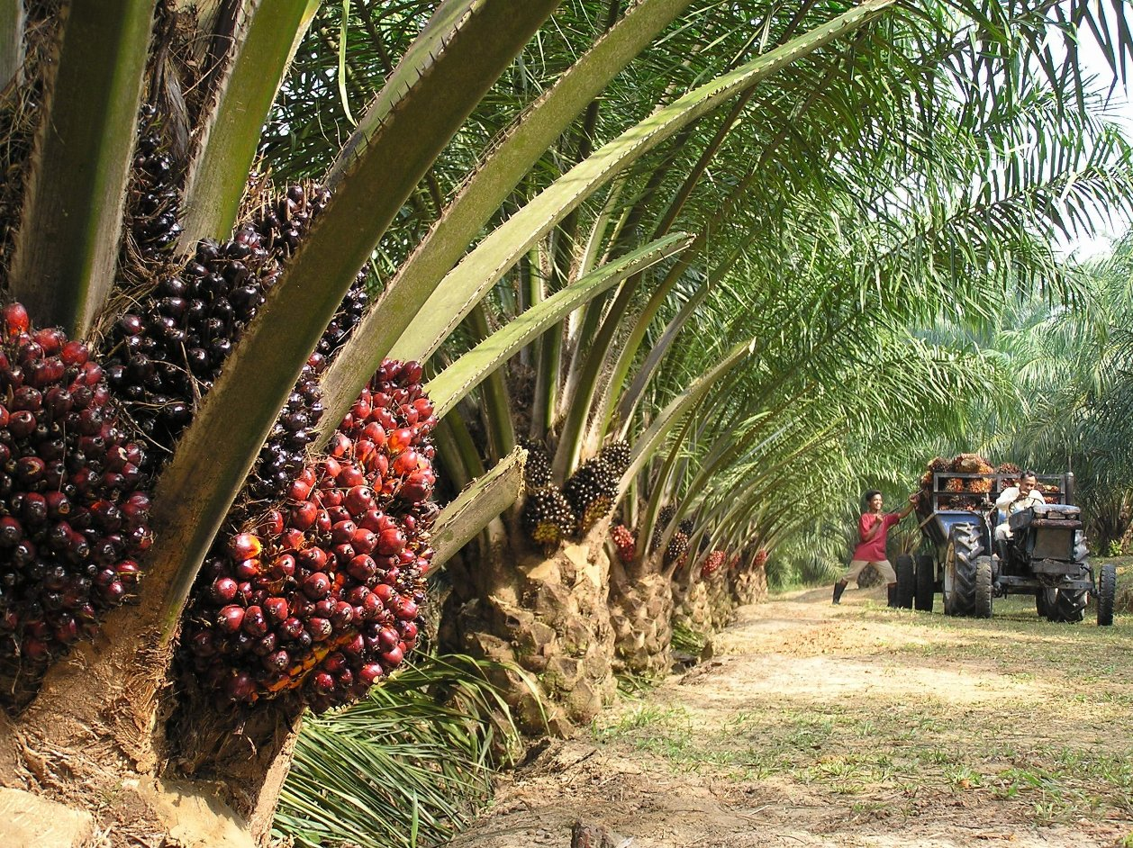 Palm oil fruit is harvested in Sabah, Malaysian Borneo.