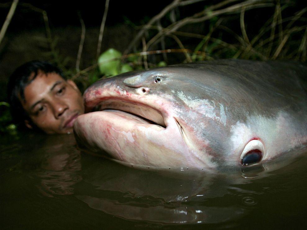 mekong-catfish-noteeth_626_990x742.jpg