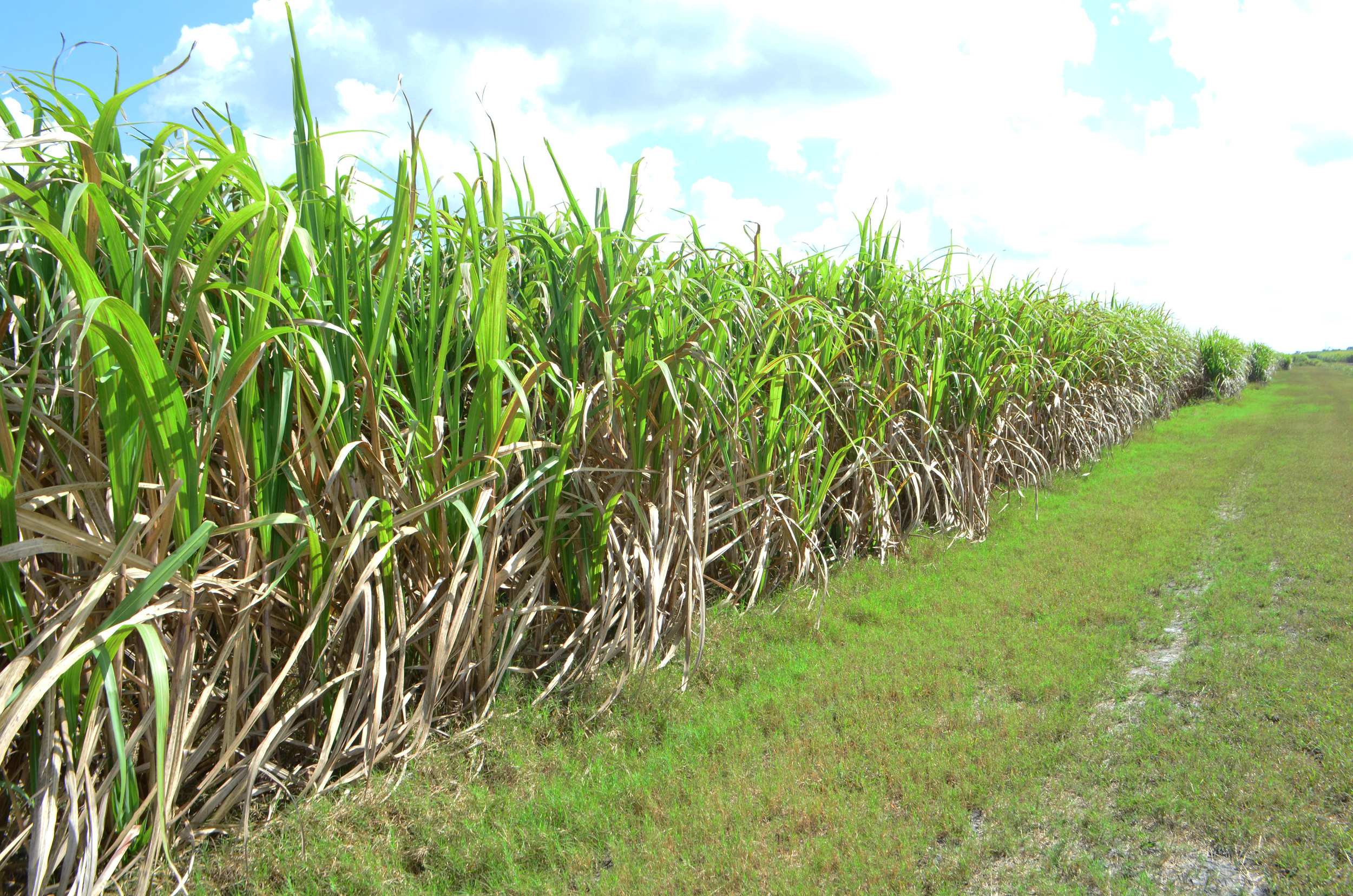 Improving Cane Productivity is an important item under the SDP
