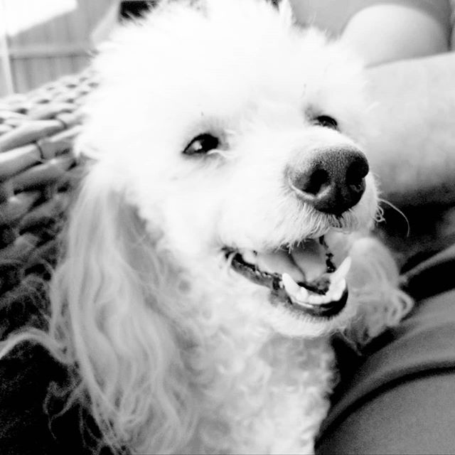 All smiles today.... and to think, 2 wks ago she was knocking on death's door with the vets both recommending we put her down. She's happy and healthy thanks to meds and a change in diet! #family  #nevergiveup #toypoodle #love