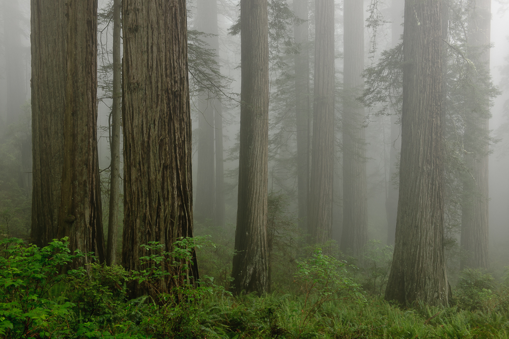 Standing Redwoods